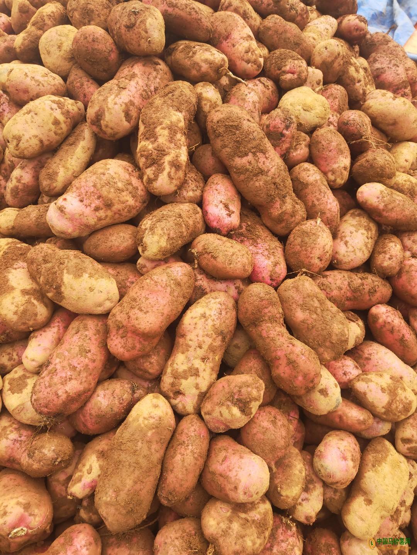 本人供应大量青薯 ()